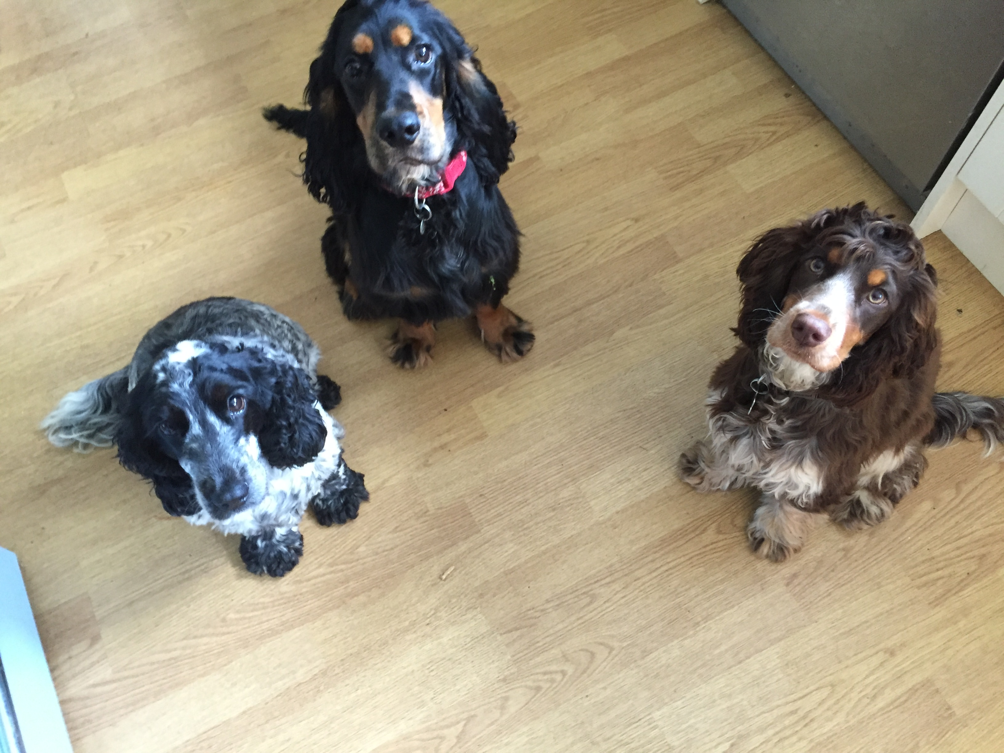 Socially Contented Spaniels